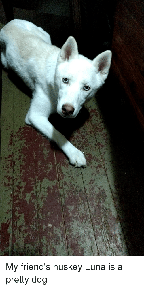 Friends, Dog, and Luna: My friend's huskey Luna is a pretty dog