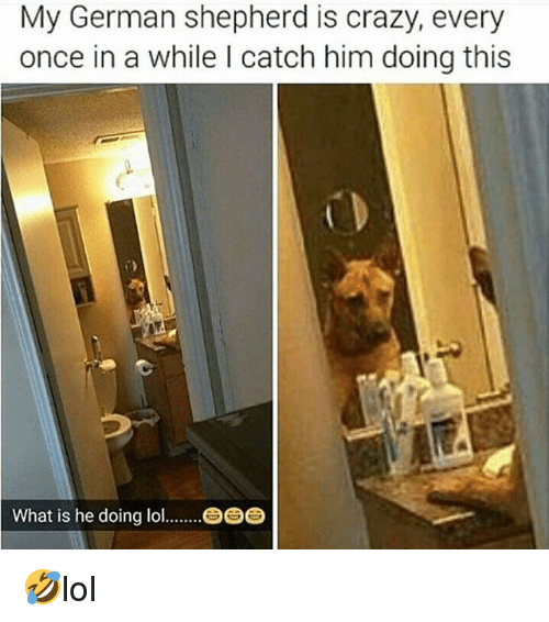 Crazy, Memes, and German Shepherd: My German shepherd is crazy, every  once in a while I catch him doing this  What is he doing lo  固固固 🤣lol