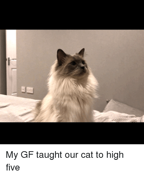 Cat, High Five, and Five: My GF taught our cat to high five