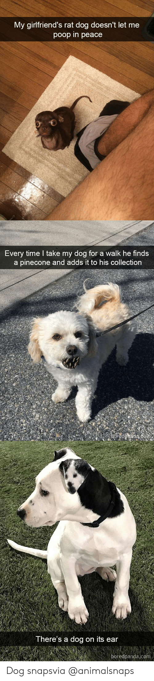 Poop, Target, and Tumblr: My girlfriend's rat dog doesn't let me  poop in peace   Every time l take my dog for a walk he finds  a pinecone and adds it to his collection   There's a dog on its ear  boredpanda.com Dog snapsvia @animalsnaps