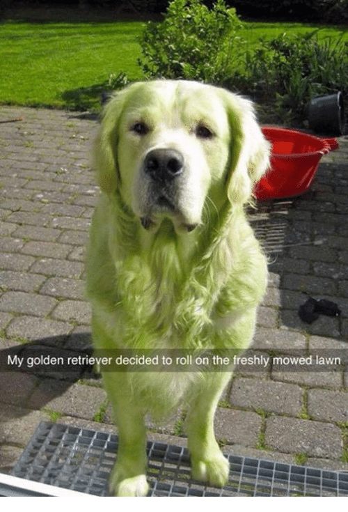 my golden retriever decided to roll on the freshly mowed 6595142 ✅ 25 best memes about mow lawn mow lawn memes,Lawn Memes