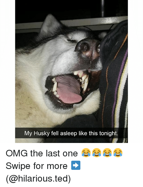 Funny, Fell Asleep, and Swipely: My Husky fell asleep like this tonight. OMG the last one 😂😂😂😂 Swipe for more ➡ (@hilarious.ted)