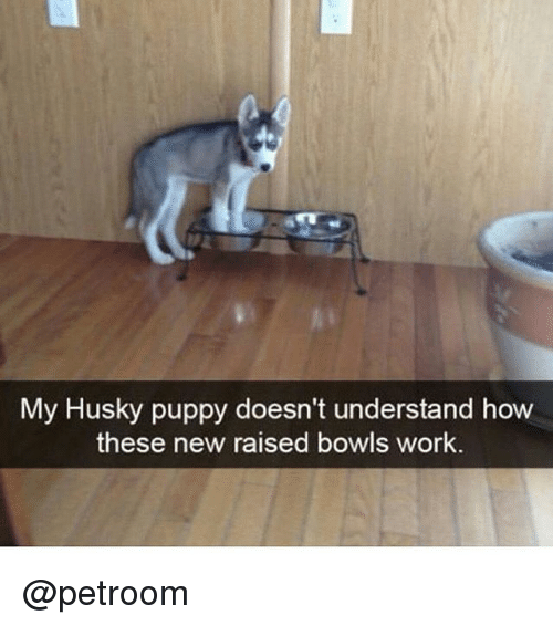 Funny, Work, and Husky: My Husky puppy doesn't understand how  these new raised bowls work. @petroom