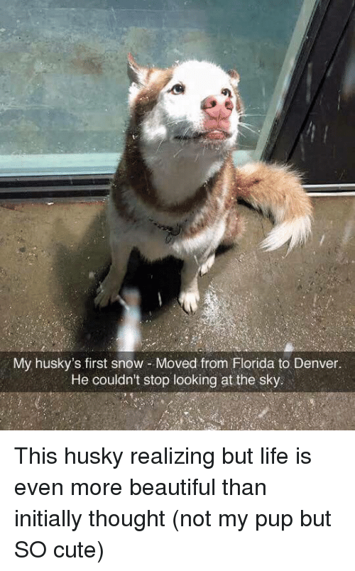 Beautiful, Cute, and Life: My husky's first snow Moved from Florida to Denver.  He couldn't stop looking at the sky This husky realizing but life is even more beautiful than initially thought (not my pup but SO cute)