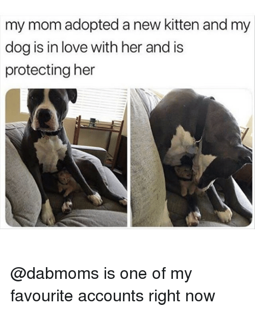 Love, Memes, and Mom: my mom adopted a new kitten and my  dog is in love with her and is  protecting her @dabmoms is one of my favourite accounts right now