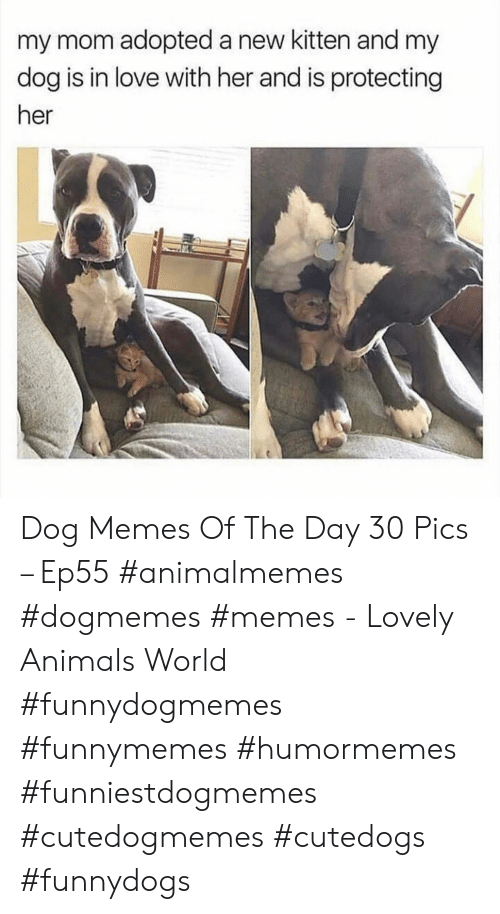 Animals, Love, and Memes: my mom adopted a new kitten and my  dog is in love with her and is protecting  her Dog Memes Of The Day 30 Pics – Ep55 #animalmemes #dogmemes #memes - Lovely Animals World #funnydogmemes #funnymemes #humormemes #funniestdogmemes #cutedogmemes #cutedogs #funnydogs