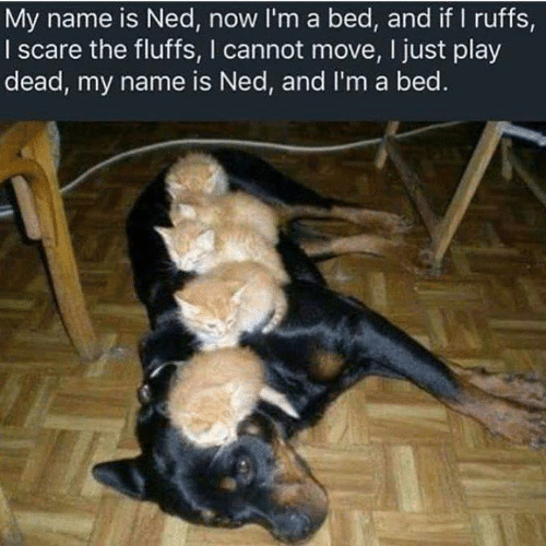 Memes, Scare, and 🤖: My name is Ned, now I'm a bed, and if I ruffs,  I scare the fluffs, I cannot move, I just play  dead, my name is Ned, and I'm a bed.