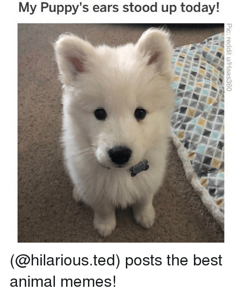 Memes, Ted, and Animal: My Puppy's ears stood up today! (@hilarious.ted) posts the best animal memes!