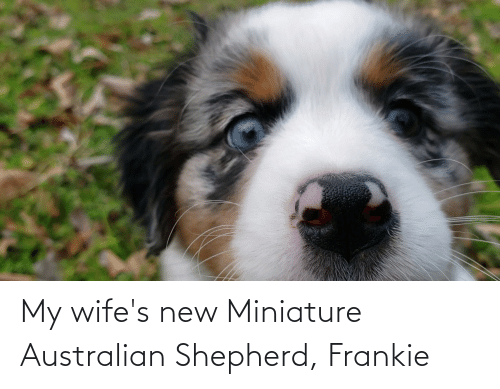 Australian, Australian Shepherd, and New: My wife's new Miniature Australian Shepherd, Frankie