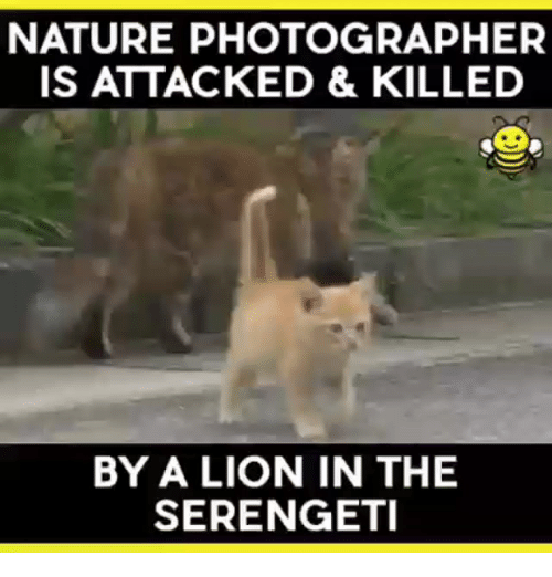 Lion, Nature, and Indonesian (Language): NATURE PHOTOGRAPHER  IS ATTACKED & KILLED  BY A LION IN THE  SERENGETI