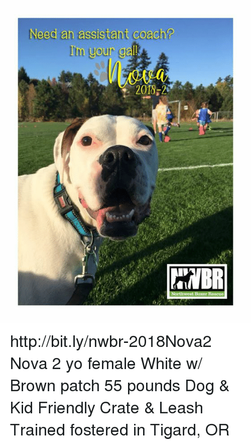 Memes, Yo, and Http: Need an assistant coach?  Iim your ga  2018,2 http://bit.ly/nwbr-2018Nova2 Nova 2 yo female White w/ Brown patch 55 pounds Dog & Kid Friendly Crate & Leash Trained fostered in Tigard, OR