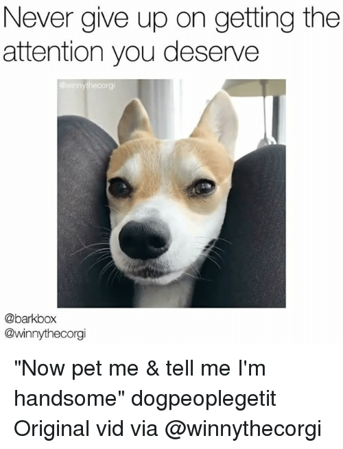 "Memes, Never, and 🤖: Never give up on getting the  attention you deserve  @winnythecorgi  @barkbox  @winnythecorgi ""Now pet me & tell me I'm handsome"" dogpeoplegetit Original vid via @winnythecorgi"