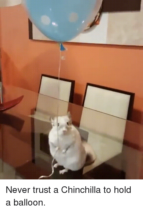 Funny, Never, and Chinchilla: Never trust a Chinchilla to hold a balloon.
