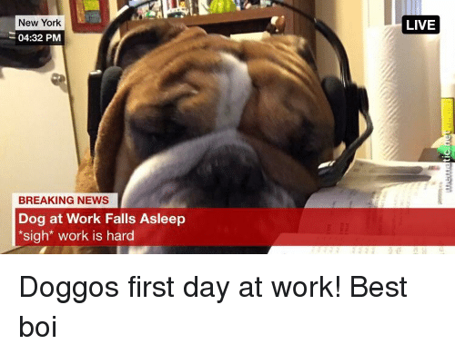 New York, News, and Work: New York  04:32 PM  LIVE  BREAKING NEWS  Dog at Work Falls Asleep  sigh* work is hard