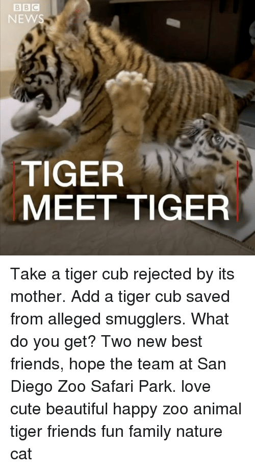 Beautiful, Cute, and Family: NEWS  TIGER  MEET TIGER Take a tiger cub rejected by its mother. Add a tiger cub saved from alleged smugglers. What do you get? Two new best friends, hope the team at San Diego Zoo Safari Park. love cute beautiful happy zoo animal tiger friends fun family nature cat