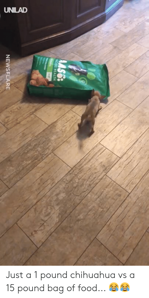 Chihuahua, Dank, and Food: NEWSFLARE Just a 1 pound chihuahua vs a 15 pound bag of food... 😂😂