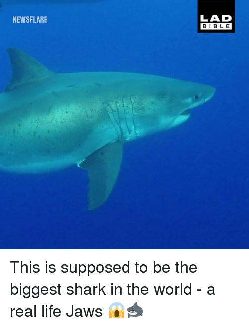Dank, Life, and Shark: NEWSFLARE  LAD  BIBLE This is supposed to be the biggest shark in the world - a real life Jaws 😱🦈