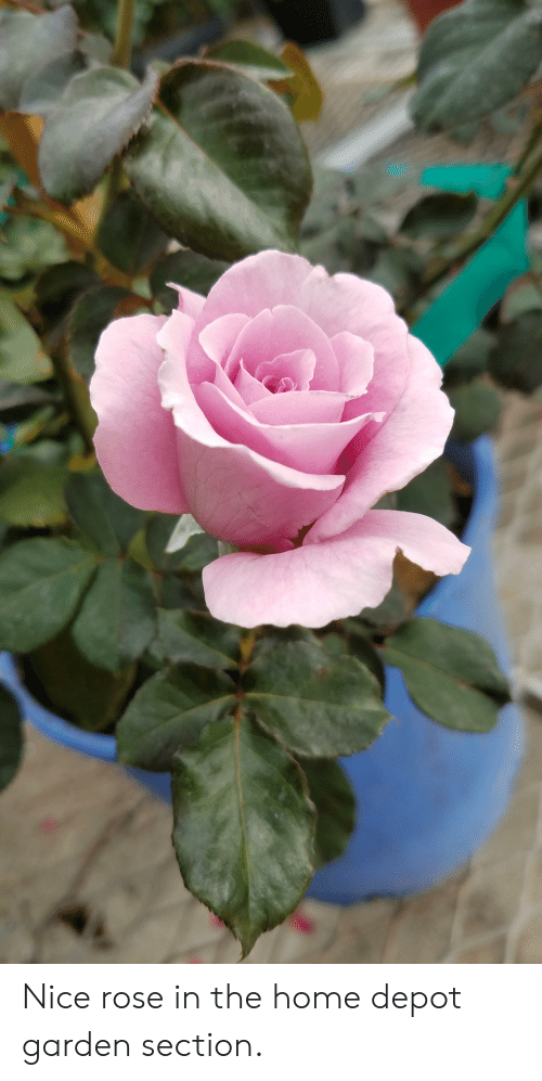 72d7e60eaf Nice Rose in the Home Depot Garden Section | Home Meme on ME.ME