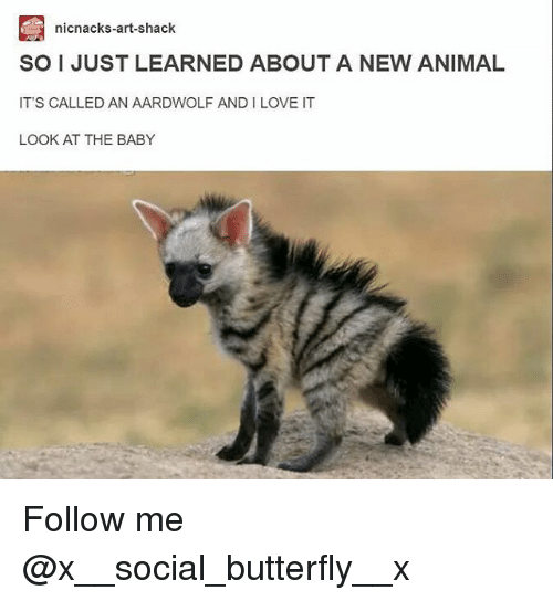 Love, Memes, and Animal: nicnacks-art-shack  SO I JUST LEARNED ABOUT A NEW ANIMAL  IT'S CALLED AN AARDWOLF AND I LOVE IT  LOOK AT THE BABY Follow me @x__social_butterfly__x
