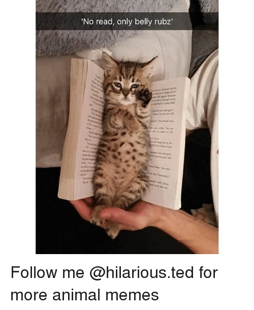 Funny, Memes, and Ted: 'No read, only belly rubz Follow me @hilarious.ted for more animal memes