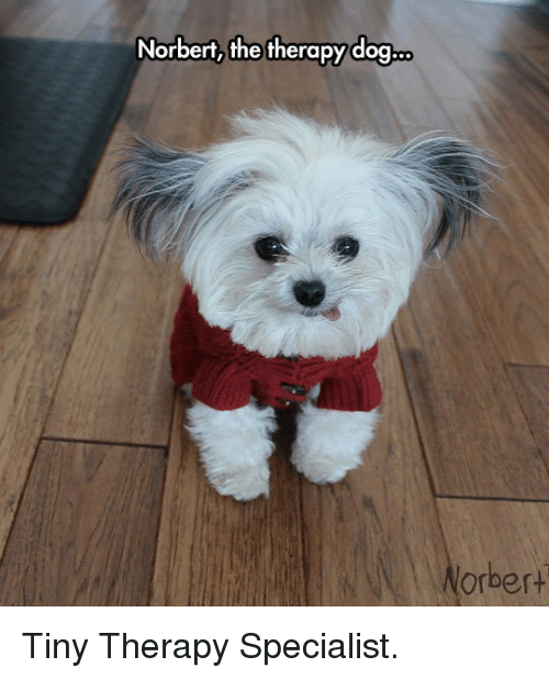 Norbert The Therapy Dog Orbert P Tiny Therapy Specialist P