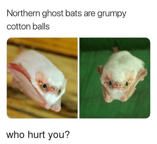 Northern Ghost Bats Are Grumpy Cotton Balls Who Hurt You