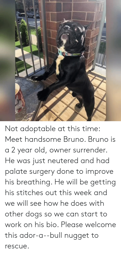 Dogs, Memes, and Stitches: Not adoptable at this time:  Meet handsome Bruno. Bruno is a 2 year old, owner surrender. He was just neutered and had palate surgery done to improve his breathing. He will be getting his stitches out this week and we will see how he does with other dogs so we can start to work on his bio.  Please welcome this ador-a--bull nugget to rescue.