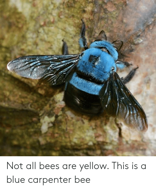 Not All Bees Are Yellow This Is a Blue Carpenter Bee | Blue Meme on