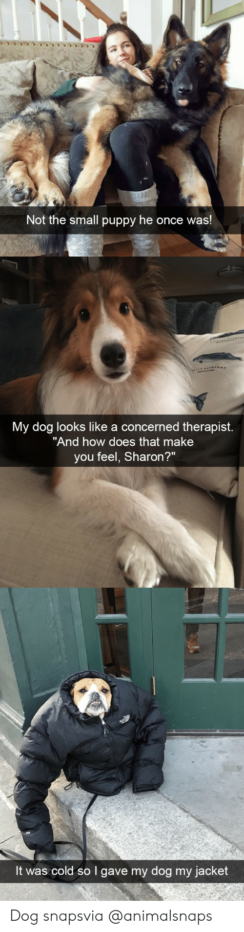 "Target, Tumblr, and Http: Not the small puppy he once was!   My dog looks like a concerned therapist.  ""And how does that make  you feel, Sharon?   It was cold so I gave my dog my jacket Dog snapsvia @animalsnaps"