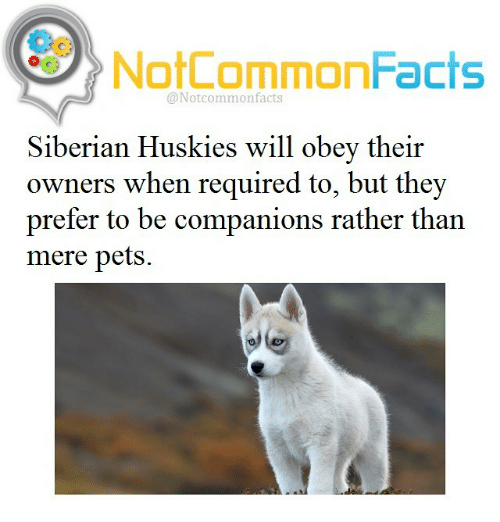 Notcommonfacts Common Facts Siberian Huskies Will Obey Their Owners