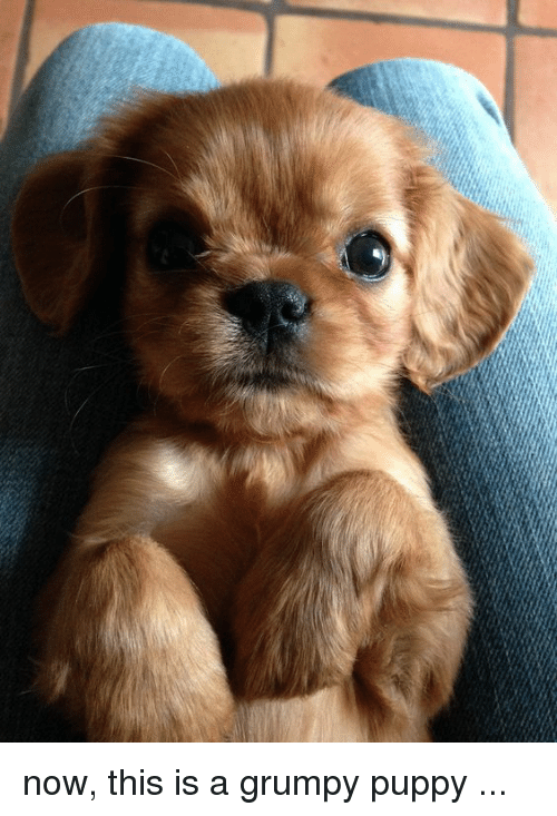now this is a grumpy puppy 28277967 now this is a grumpy puppy puppy meme on me me
