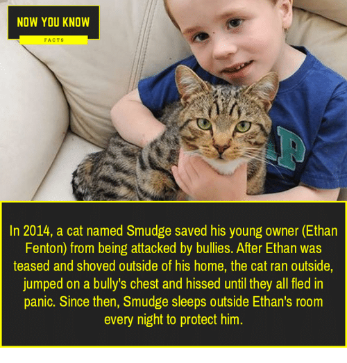 Facts, Memes, and Home: NOW YOU KNOW  FACTS  In 2014, a cat named Smudge saved his young owner (Ethan  Fenton) from being attacked by bullies. After Ethan was  teased and shoved outside of his home, the cat ran outside,  jumped on a bully's chest and hissed until they all fled in  panic. Since then, Smudge sleeps outside Ethan's room  every night to protect him.