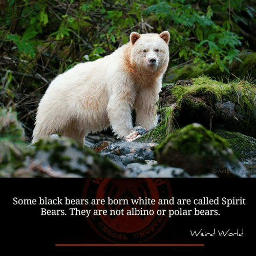 Memes, Weird, and Bears: O Anth  Some black bears are born white and are called Spirit  Bears. They are not albino or polar bears.  Weird World