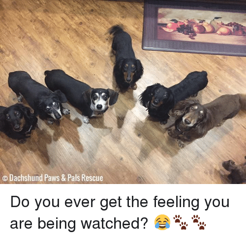 o dachshund paws pals rescue do you ever get 23159342 o dachshund paws & pals rescue do you ever get the feeling you are,Dachshund Meme
