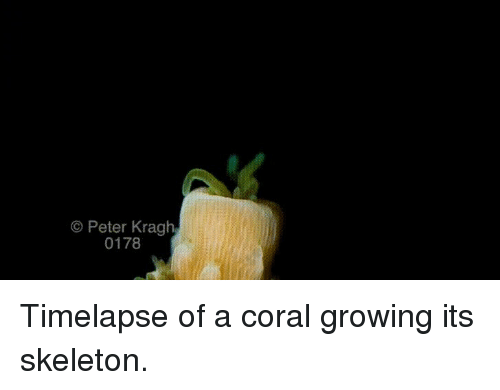 O Peter Kragh 0178 Timelapse of a Coral Growing Its Skeleton
