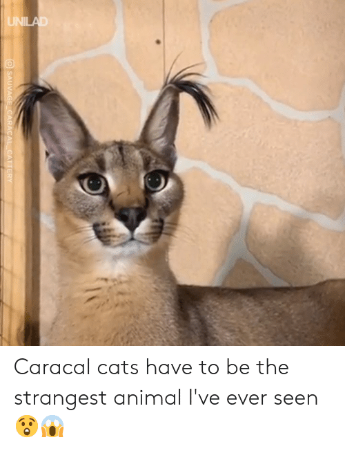 Cats, Dank, and Animal: O SAUVAGE CARACAL CATTERY Caracal cats have to be the strangest animal I've ever seen 😲😱