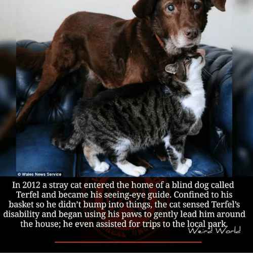 Memes, Wale, and 🤖: O Wales News Service  In 2012 a stray cat entered the home of a blind dog called  Terfel and became his seeing-eye guide. Confined to his  basket so he didn't bump into things, the cat sensed Terfel's  disability and began using his paws to gently lead him around  the house; he even assisted for trips to the local park