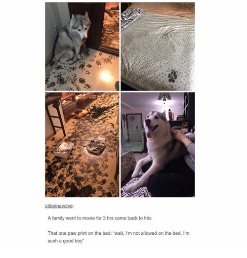 """Family, Memes, and Good: obbyinavolvo:  A family went to movie for 3 hrs came back to this  That one paw print on the bed: """"wait, I'm not allowed on the bed. I'm  such a good boy"""
