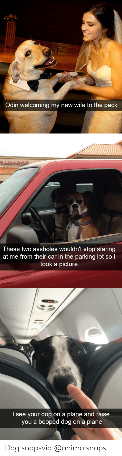 Target, Tumblr, and Http: Odin welcoming my new wife to the pack   These two assholes wouldn't stop staring  at me from their car in the parking lot sol  took a picture   I see your dog on a plane and raise  you a booped dog on a plane Dog snapsvia @animalsnaps