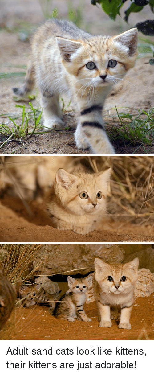 Cats, Kittens, and Adorable: OGREGONY ALTONASAND CATSAHARA TEAM Adult sand cats look like kittens, their kittens are just adorable!