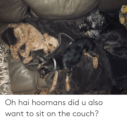 Couch, Did, and Oh Hai: Oh hai hoomans did u also want to sit on the couch?