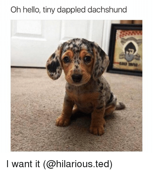 Funny, Hello, and Ted: Oh hello, tiny dappled dachshund I want it (@hilarious.ted)