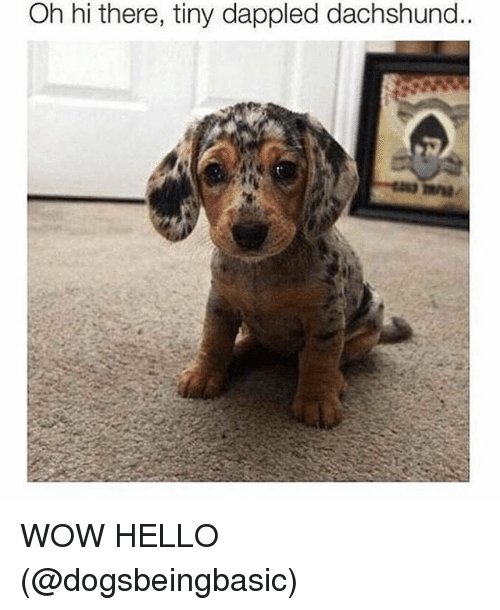 Hello, Memes, and Wow: Oh hi there, tiny dappled dachshund.. WOW HELLO (@dogsbeingbasic)