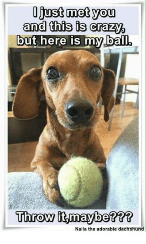 Crazy, Memes, and Adorable: Ojust met you  and this is crazy,  but here is mylball  Throw it maybe???  Naila the adorable dachshund