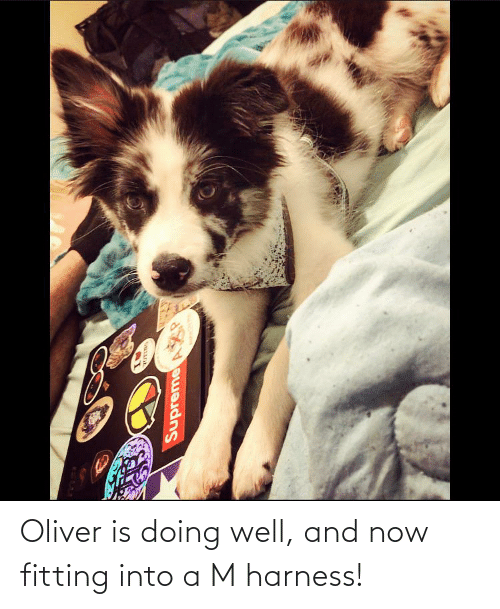 Now, A&m, and Fitting: Oliver is doing well, and now fitting into a M harness!