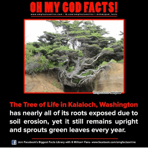 Memes, Library, and Sprouts: ON MY GOD FACTS!  www.om facts online.com I fb.com  g facts on  line a ohm god facts  mage Source Gainyleaf  The Tree of Life in Kalaloch, Washington  has nearly all of its roots exposed due to  soil erosion, yet it still remains upright  and sprouts green leaves every year.  Join Facebook's Biggest Facts Library with 6 Million+ Fans- www.facebook.com/omgfactsonline