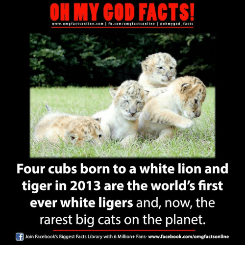 Cats, Facebook, and Facts: ON MY GOD FACTS!  www.om facts online.com I fb.com/om g facts online I eohmygod facts  Four cubs born to a white lion and  tiger in 2013 are the world's first  ever white ligers and, now, the  rarest big cats on the planet.  Of Join Facebook's Biggest Facts Library with 6 Million+ Fans  www.facebook.com/omgfactsonline