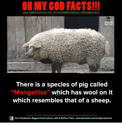 "Facebook, Facts, and God: ON MY GOD FACTS!!!  www.omg facts online.com I fb.com/omg facts online I Goh my god-facts  OH MY COD  FACTS!!!  mage credit  There is a species of pig called  ""Mangalitsa"" which has wool on it  which resembles that of a sheep.  Join Facebook's Biggest Facts Library with 6 Million+ Fans- www.facebook.com/omgfactsonline"