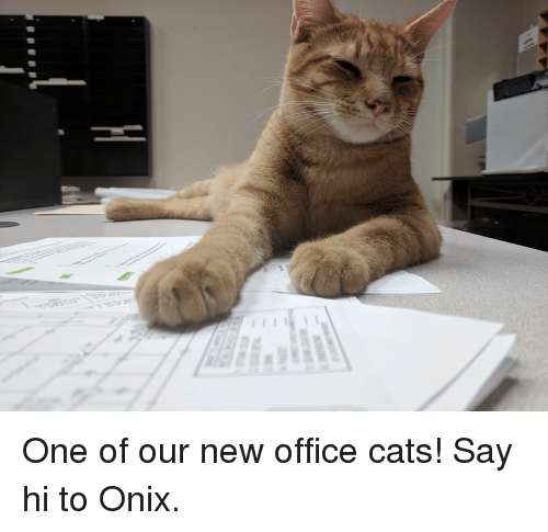 One Of Our New Office Cats Say Hi To Onix Cats Meme On Meme