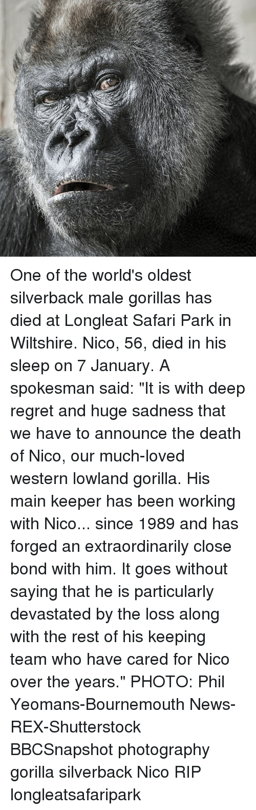 "Memes, News, and Regret: One of the world's oldest silverback male gorillas has died at Longleat Safari Park in Wiltshire. Nico, 56, died in his sleep on 7 January. A spokesman said: ""It is with deep regret and huge sadness that we have to announce the death of Nico, our much-loved western lowland gorilla. His main keeper has been working with Nico... since 1989 and has forged an extraordinarily close bond with him. It goes without saying that he is particularly devastated by the loss along with the rest of his keeping team who have cared for Nico over the years."" PHOTO: Phil Yeomans-Bournemouth News-REX-Shutterstock BBCSnapshot photography gorilla silverback Nico RIP longleatsafaripark"